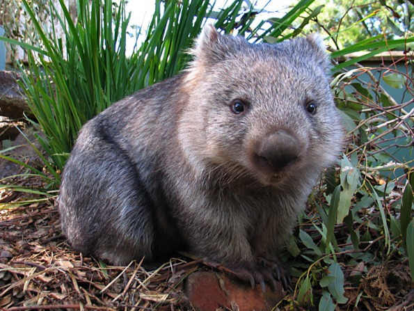 That's no Hayate, that's a wombat!!